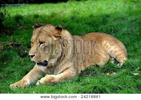 A lone lioness resting in a Safari park poster