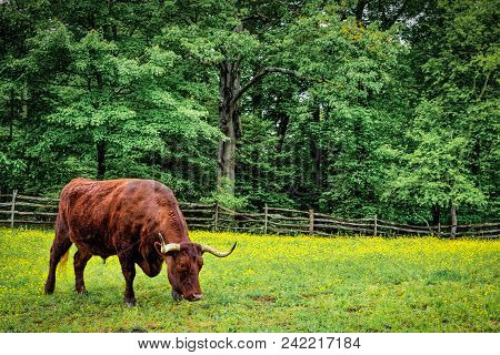 A Bull Grazes On Spring Flowers In A Green Virginia Meadow.