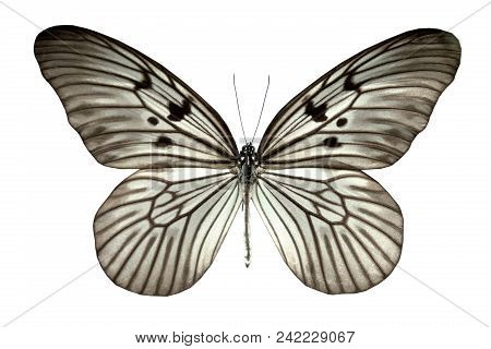 Butterfly Idea Blanchardii Togiana Isolated On White Background (indonésie).