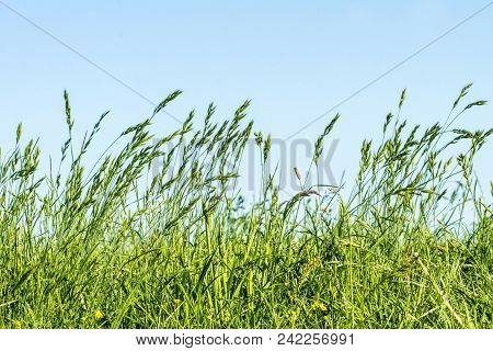 Meadow, Grasses On A Dyke On The Elbe In Germany