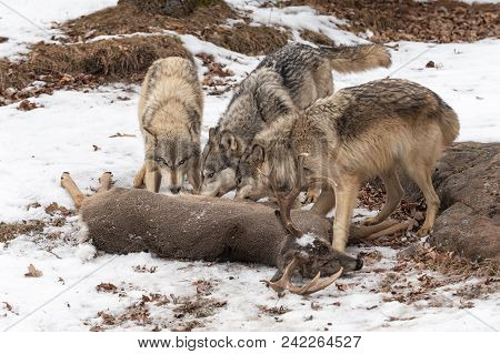 Three Grey Wolves (canis Lupus) At White-tail Deer Kill - Captive Animals