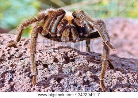 A Tarantula Native To Sedona Arizona Crawling On A Piece Of Sandstone. I Found This One Along The Ai