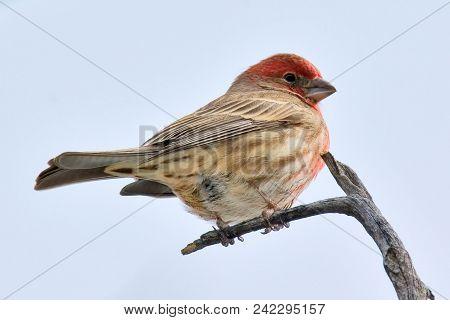 A Male House Finch Native To The Sedona Area Of Arizona.