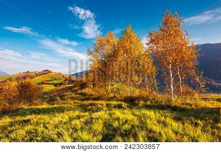 Yellow Birch Trees In Mountains At Sunrise. Beautiful Countryside Scenery In Autumn With Rural Field