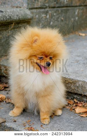 4703213 Dog Pomeranian Spitz Smiling Watch The Evening Sun At The Park's Nature.