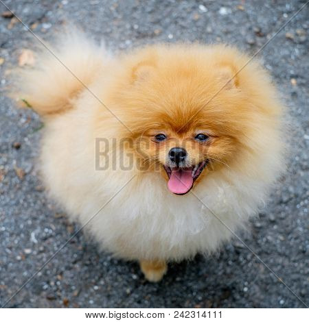 Adult Orange Pomeranian Spitz On A Gray Background