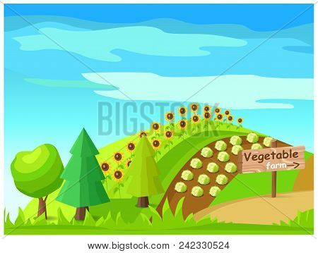 Vegetable Farm Concept. Idyllic Rural Farm Landscape With Good Harvest Of Cabbage And Sunflower On F