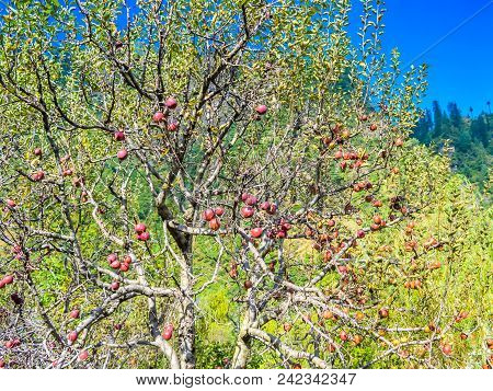 Red Apples On Tree Branch: Ripe Organic Apples In The Summer Garden, Colorful Outdoor Shot Containin
