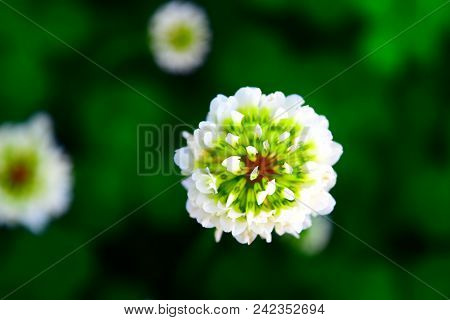 Large White Clover Bud Bloom In Spring