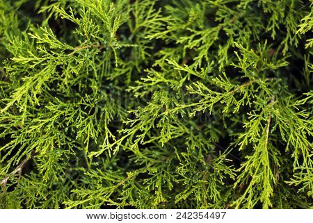 Floral Background - Green Soft Coniferous Twigs Of Live Thuja