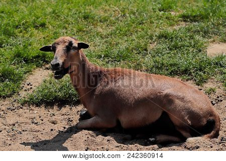 Portrait Of Domestic Cameroon Sheep On The Farmfield. Photography Of Nature And Wildlife.