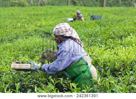 Tea Picker Woman, India