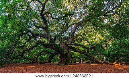 Southern Angel: The Angel Oak Tree, Charleston, South Carolina, United States