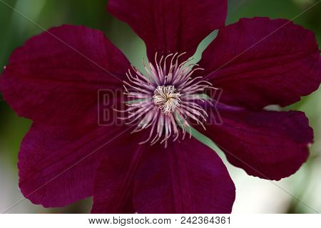 Close-up Of Of Pink Clematis Flower Climbing Plant In The Spring Garden. Macro Photography Of Nature