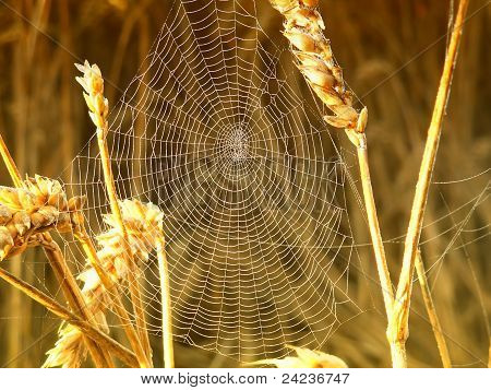 spider in its web in the wheat
