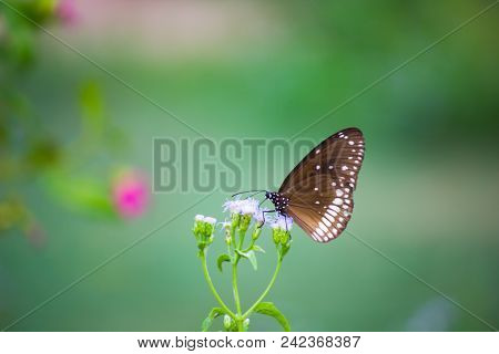 Euploea Core, The Common Crow, Is A Common Butterfly Found In South Asia To Australia. In India It I