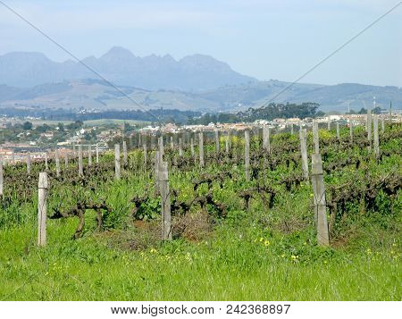 Landscape, With Grass And Grape Vines In The Fore Ground, And  Mountains In The Back Ground