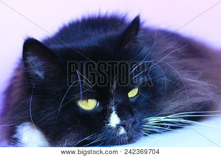 Black Cat Laying On Pink Tender Background. Domestic Pet Having A Rest. Domestic Animal. Black Cat S