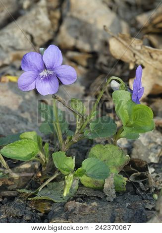 Common Dog-violet - Viola Riviniana  Whole Plant With Two Flowers