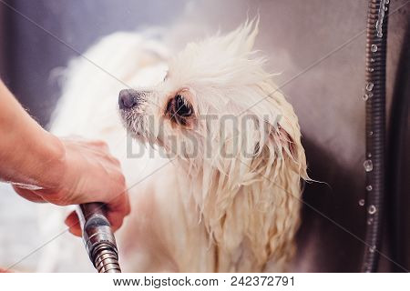 Pomeranian Dog In The Bathroom In The Beauty Salon For Dogs. The Concept Of Popularizing Haircuts An