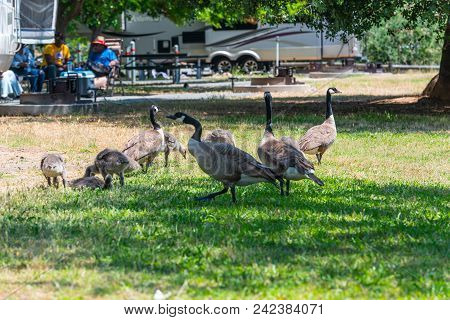 A Group Of Large Geese And Youngling Grazing By A Camp Site