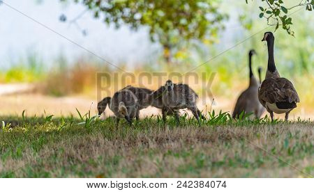 Large Geese And Youngling Grazing In The Grass