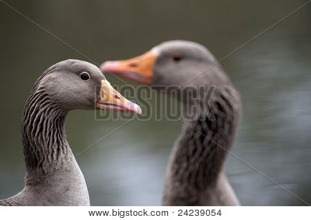 Two geese having a meeting