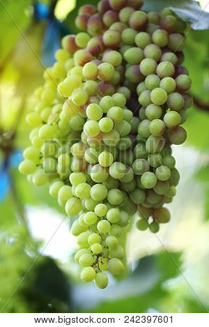 Bunch Of Green Grapes In The Garden