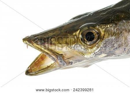 Head of a ferocious marine predator, the yellowtail barracuda or Sphyraena obtusata. poster