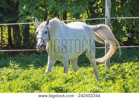 The Funny White Hanoverian Horse Waving His Tail In The Bridle Or Snaffle On The Pasture Or Grasslan