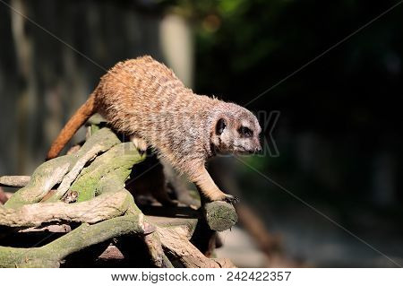 Full Body Of Adult Meerkat (suricata Suricatta) On The Tree Trunk. Photography Of Nature And Wildlif