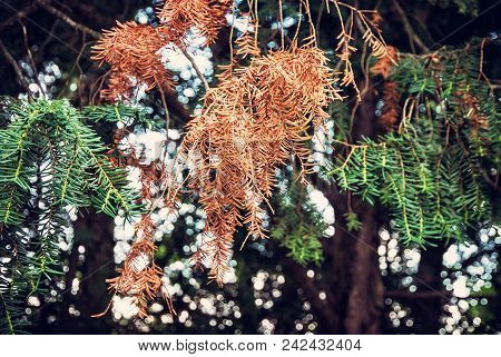 Detail Of Conifer Tree In Autumn Time. Seasonal Natural Scene. Retro Photo Filter.