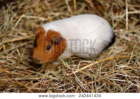 Close-up Of White-brown Domestic Guinea Pig (cavia Porcellus) Cavy On The Straw. Photography Of Natu