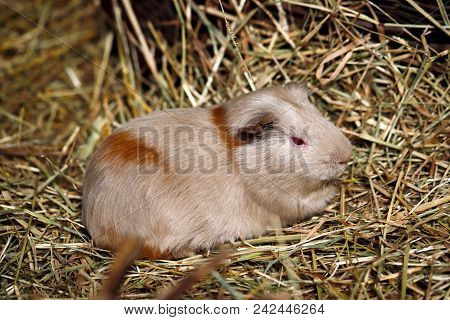 Close-up Of Beige-brown Domestic Guinea Pig (cavia Porcellus) Cavy On The Straw. Photography Of Natu