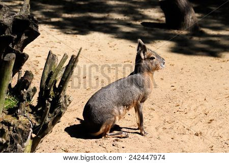 Portrait Of Patagonian Mara (dolichotis Patagonum), Siting And Looking. Photography Of Nature And Wi