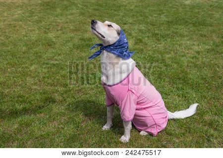 Outdoor Portrait Of Cute Cross-breed Dog Which Loves Cross-dressing