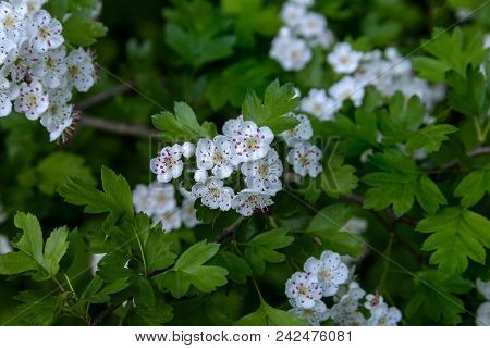 The White Flowers Of The Hawthorn Photographed On A Background Of Green Leaves