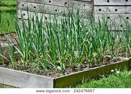 Spring Garlic Plant, South Bohemia, Czech Republic