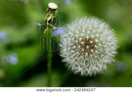 Close-up Of Ripe Fruits Common Dandelion (taraxacum Officinale) Flower On The Spring Meadow. Macro P