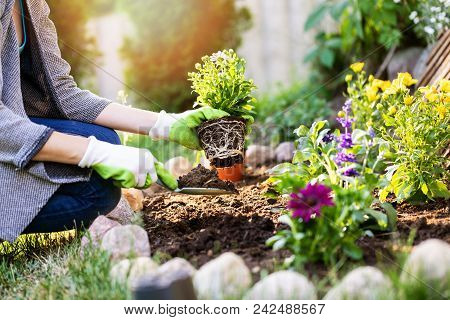 Gardener Planting Summer Flowers In Garden Bed