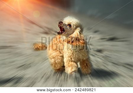 Angry Barking Dog Attack On The  Blurred Background At Sunset. Doggy Grin.