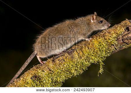 Wild Brown Rat On Log At Night