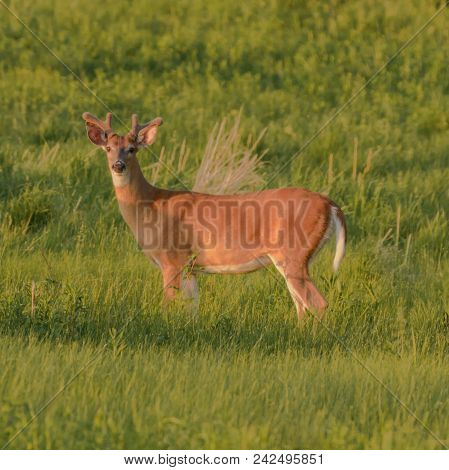 A young, male Whitetail Buck Deer (Odocoileus virginianus) browses in a field at sunset in Gettysburg Pennsylvania, USA. poster
