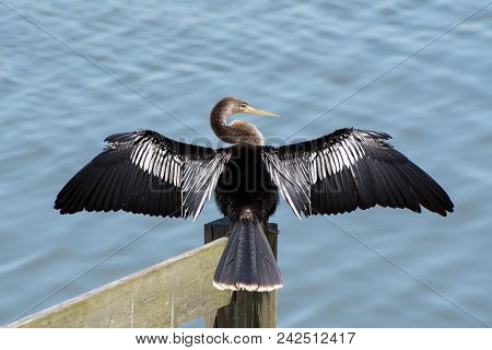 An Anhinga Spreads Its Wings To Dry.