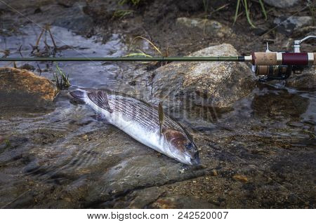 Grayling Fish In Water And Fishing Tackle On River Stones