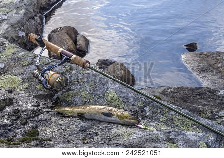 Caught Brown Trout Fish And Fishing Tackle On River Stone