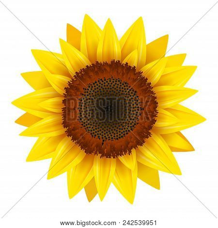 Sunflower Realistic Icon Vector Isolated. Yellow Sunflower Blossom Nature Flower Illustration For Su