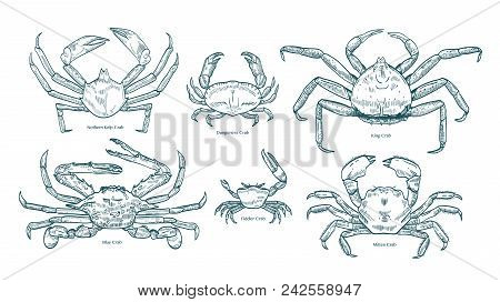 Collection Of Elegant Drawings Of Various Types Of Crabs. Bundle Of Beautiful Marine Animals Or Crus