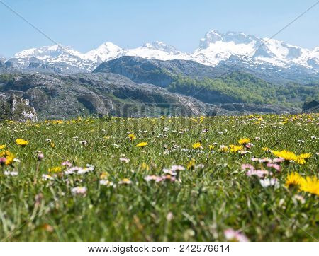 Apline Mountain Meadow With Daisies And Dandelions. Mountain Spring Flowers In The Picos De Europa N