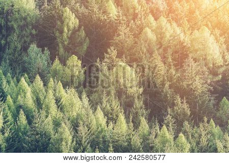 Green Forest Of Fir And Pine Trees Landscape.